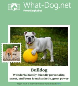 What Dog: bulldog
