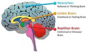 cerebro triuno
