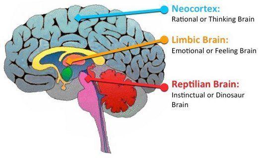 La neuroeducación y el cerebro triuno